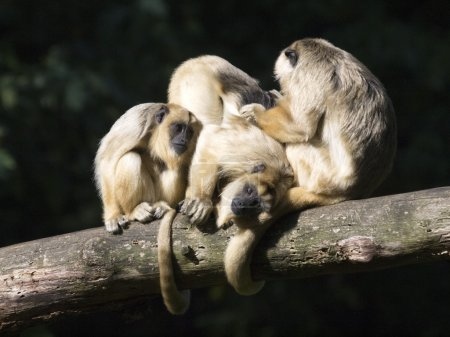 Howler monkeys on tree