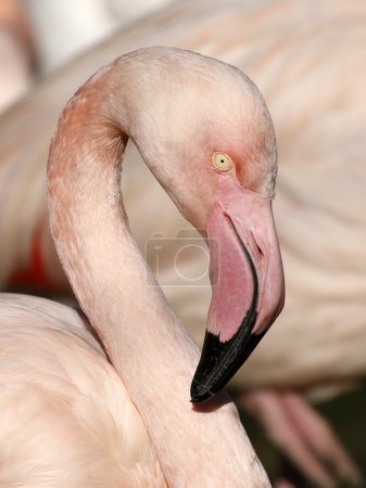 Close up of beautiful Flamingo