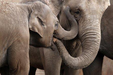 Gray Elephants playing