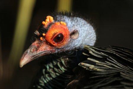 Close up of peacock turkey bird...