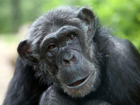 Chimpanzee portrait close up