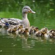 Mother duck with her ducklings in water...