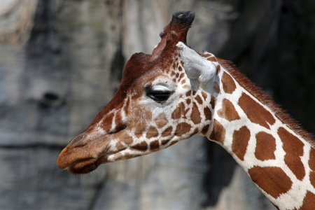 head of cute Giraffe