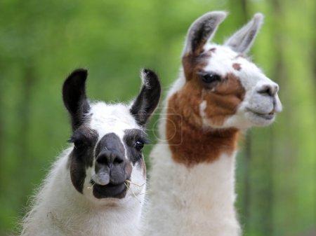Foto de Primer plano de dos lindos lamas - Imagen libre de derechos