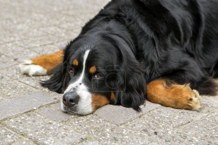 Bernese dog lying