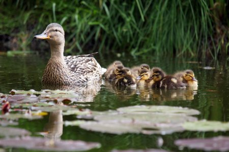 Mother duck with her ducklings in the water...