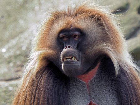 Photo pour Gros plan, Portrait de singe Gélada - image libre de droit