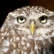Close up of cute burrowing owl...