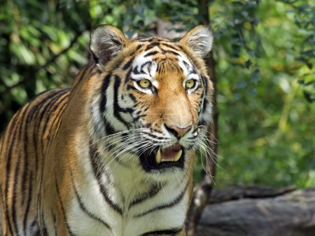 beautiful tiger in the forest