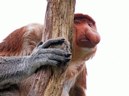 proboscis monkey near tree