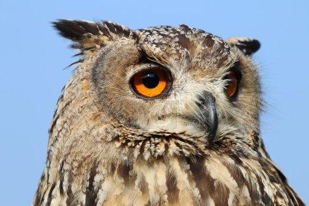 Photo pour Gros plan de l'oiseau aigle indien - image libre de droit