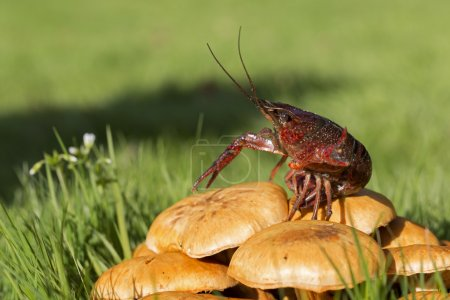 Photo for Freshwater crayfish on the mushrooms - Royalty Free Image