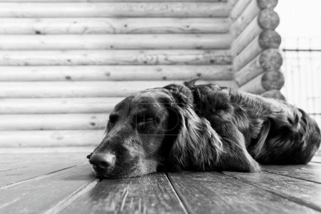 Dog asleep lying on the wooden floor