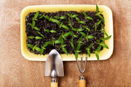 Photo pour Petits pousses vertes et petits outils de jardinage sur le fond boisé - image libre de droit