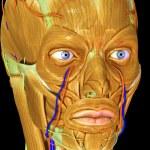 Постер, плакат: Facial muscles