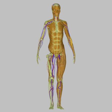 Muscles leg bones
