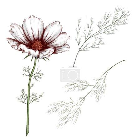 Photo pour Mignon illustration de fleur de cosmos blanc, élément de conception d'invitation de fleur de champ d'été, dcoration de carte d'anniversaire. Illustration de haute qualité - image libre de droit