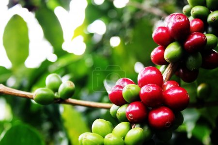 Coffee Cherries.