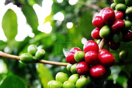 Photo pour Branches d'arbre de café rempli de cerises colorées . - image libre de droit