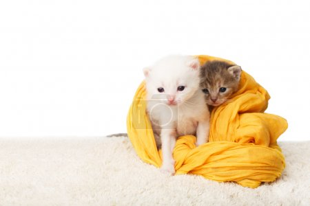 Foto de White and grey kittens. Cute kittens in a yellow cotton textile isolated at white background. Adorable pets. Small heartwarming kittens. Little cats. Animals isolated. High key - Imagen libre de derechos