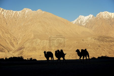 Silhouette young camels in sand dune Nubra valley Ladakh ,India - September 2014