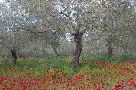 Photo pour Oliviers et coquelicots sauvages dans le jardin . - image libre de droit