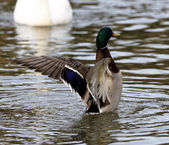 Image with the mallard showing his beautiful wings