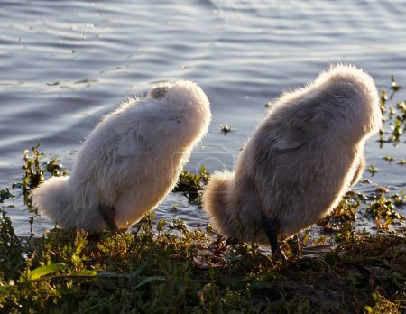 Photo for Two funny chicks of the mute swans are synchronously cleaning their feathers - Royalty Free Image