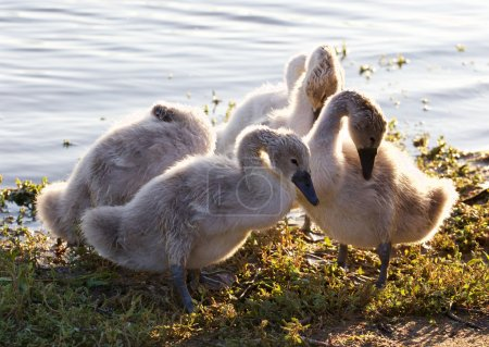 Photo for Beautiful family of young swans are cleaning their feathers on the shore of the lake - Royalty Free Image