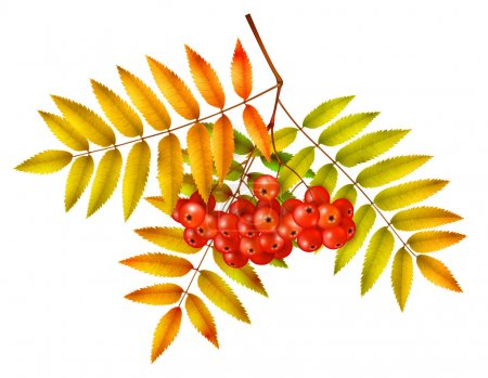 Isolated autumn rowan branch