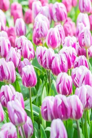 Photo pour Champs de fleurs de tulipes aux Pays-Bas . - image libre de droit