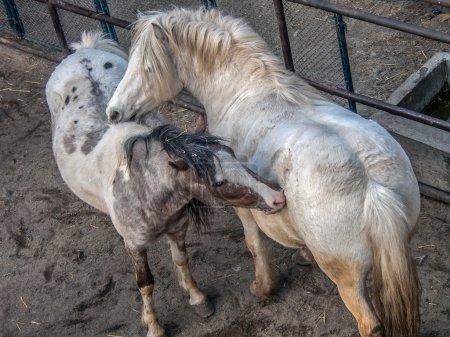 White horses playing