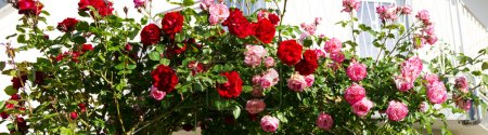 Red and pink climbing roses.