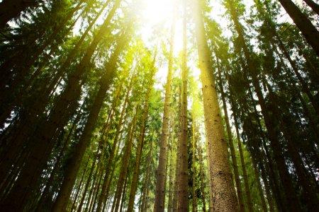 Photo pour Beauté de la nature au matin dans la Forêt brumeuse de l'été avec les rayons du soleil. - image libre de droit