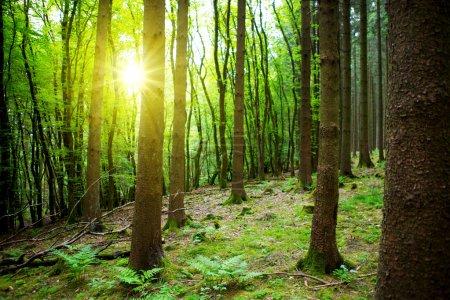 Photo pour Forêt de hêtres allemandes avec des plantes vertes sur la forêt à la terre au soleil. Lumière du soleil en forêt. - image libre de droit