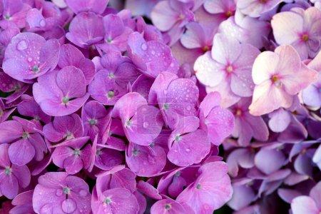 Pink  hydrangea flowers background.