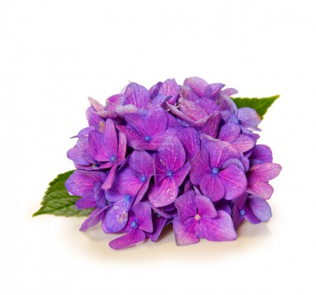 Violet hydrangea flower isolated .
