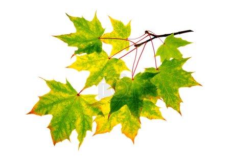 Foto de Rama de otoño hojas aisladas sobre fondo blanco. - Imagen libre de derechos