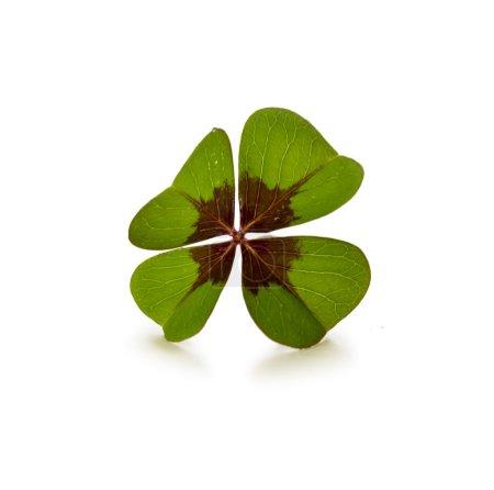 Photo pour Trquis de quatre feuilles et d'isolement sur le fond blanc. Feuille verte de trouvert sur un fond blanc. Porte-bonheur. - image libre de droit
