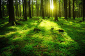 Sun beam in a green forest.