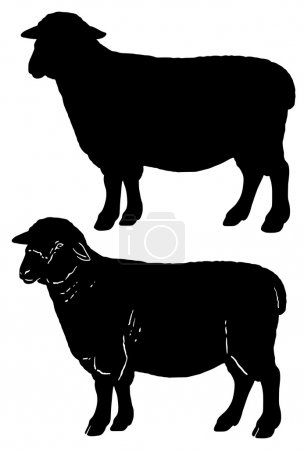 Illustration for Shropshire sheep - basic silhouette and silhouette with typical features - Royalty Free Image