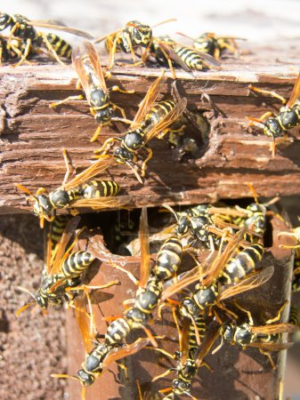 Hornet nest and fuzzy hornets...