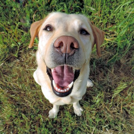 Smiling golden labrador retriever from a top view