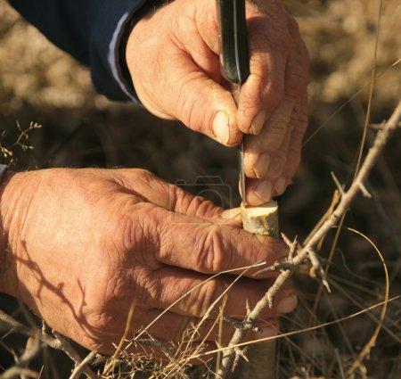 Photo pour Greffer un arbre fruitier avec vieux travailleur les mains dans un jardin - image libre de droit