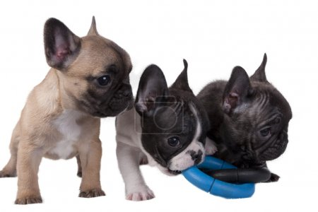 Puppies French bulldog