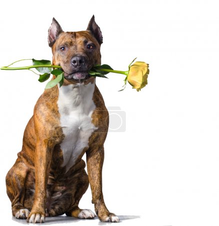 Rad striped dog with a yellow rose