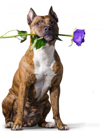 American Staffordshire Terrier with a blue rose