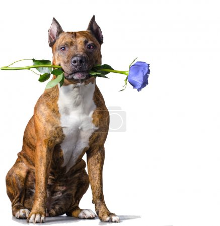 Rad striped dog with a ice-blue rose