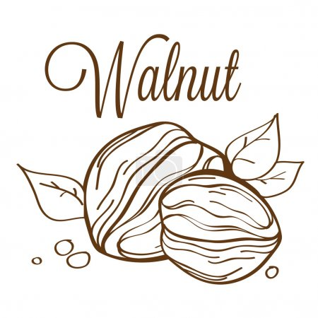 Hand drawn vector walnut01