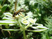 Wasp pollinates the flower